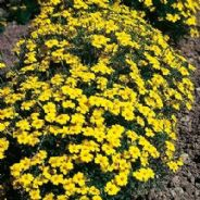 Tagetes Lemon Gem Appx 200 seeds - Annuals & Biennials
